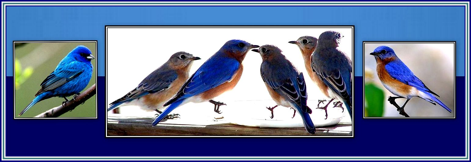 Bluebirds Collage